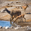 Royalty-Free Stock Photo: A kudu and blacked faced impala drinking in a waterhole at etosha national