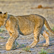 A lion cub in etosha national park namibia — Stock Photo