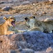 A lion cub yawning at etosha national park namibia africa — Stock Photo