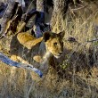 A lion cub in high grass at etosha national park namibia — Stock Photo