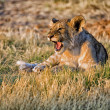 A lion cub screaming at etosha national park namibia — Stock Photo