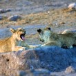 A lion cub yawning at etosha national park namibia — Stock Photo #8302620