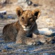 A very young lion cub at etosha national park namibia — Stock Photo