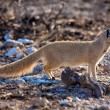 A yellow mongosse at etosha national park — Stock Photo