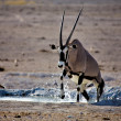 An oryx going out of the water in etosha national park namibia — Stock Photo
