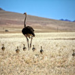 Ostrich and his cubs near luderitz sperrgebiet national park namibiafr — Stock fotografie #8302813