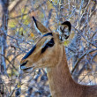 Black-faced Impala close-up in etosha national park — Stock Photo #8302874