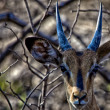 Black-faced Impala in Etosha National Park — Stock Photo