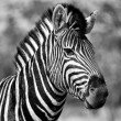 Burchell's zebra in etosha national park namibia - Stock Photo