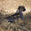 Cheetah in the grass at etosha national park namibia — Stock Photo