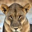 Close-up face of a lioness in etosha national park africa - 