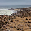 Colony of seal on the beach at cape cross seal reserve near the skeleton co - Stock Photo