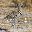 Double banded courser in etoshnational park namibia — Stock Photo #8302995