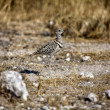 Double banded courser in etoshnational park — Stock Photo #8302997