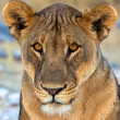 Face close-up of a lion in etosha national park namibia africa — Stock Photo