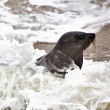 Fur seal in the waves at cape cross seal reserve namibia near the skeleton — Stock Photo