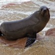 Fur seal on the beach at cape cross seal reserve namibia near the skeleton — Stock Photo