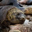 Fur seal sleeping on the beach at cape cross seal reserve namibia africa ne — Stock Photo