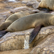Fur seal sleeping on the beach at cape cross seal reserve namibia — Stock Photo