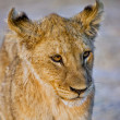 Foto de Stock  : Lion cub (pantherleo) at etoshnational park namibia