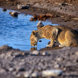 Lioness drinking water at chudob waterhole etosha national park — Stock Photo