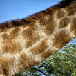 Neck of a giraffe in etosha national park namibia — Stock Photo