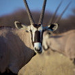 Oryx close-up in Etosha National Park Namibia — Stock Photo