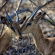 Two black faced impala in Etosha National park — Stock Photo