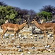 Royalty-Free Stock Photo: Two blackfaced impala near a waterhole in etosha national park namibia