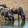 Two blue wilebeest drinking in a waterhole at etosha national park namibia - Stock Photo