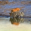Two lion cub drinking in a waterhole at etosha national park namibia — Stock Photo