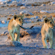 Two lion cubs looking at an elephant at etosha national park namibia — Stock Photo
