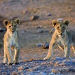 Two lion cubs looking at me at etosha namibia africa — Stock Photo