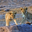 Two lion cubs looking at me at etosha national park namibia africa — Stock Photo