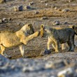 Two lions cub playing in etosha national park — Stock Photo