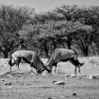 Two oryx fighting at etosha national park namibia — Stock Photo