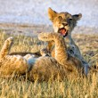 Two young lion cubs playing at etosha national park namibia — Stock Photo