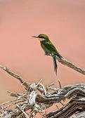 En bee eater på ett dött träd i namib naukluft national park namibia afrika — Stockfoto
