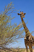A big giraffe in etosha national park namibia africa — Stock Photo