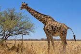 Una grande giraffa in namibia parco nazionale etosha — Foto Stock