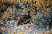 A bird in etosha national park Namibia — Stock Photo