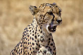 Un guepardo gritando en etosha national park namibia sudáfrica — Foto de Stock
