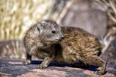 A dassie rock at quiver tree forest namibia — Stock Photo