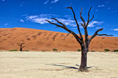A dead tree in deadvlei namib naukluft park namibia africa west — Stock Photo