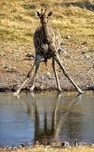 A girafe taken by surprise at etosha national park namibia — Stock Photo