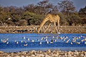 A giraffe drinking water in a waterhole at etosha national park namibia — Stock Photo
