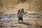 A ground squirrel in etosha national park — Stock Photo