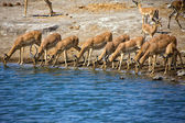 Grupa blackfaced impala wody pitnej w etosha national park — Zdjęcie stockowe