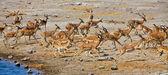 Un grupo de blackfaced impala huyendo en el parque nacional de etosha namibia un — Foto de Stock