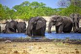 A group of elephants swiming in a waterhole at etosha national park namibia — Stock Photo